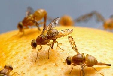 La eyaculación de los machos de la mosca de la fruta